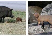 Tonga Animals